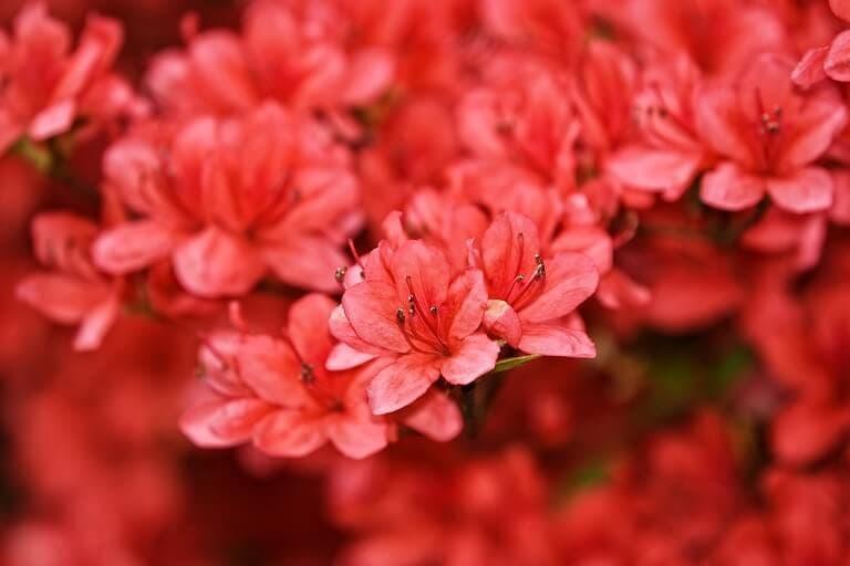 Azalea Rododendro